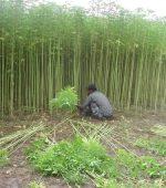 Jute oogsten in India